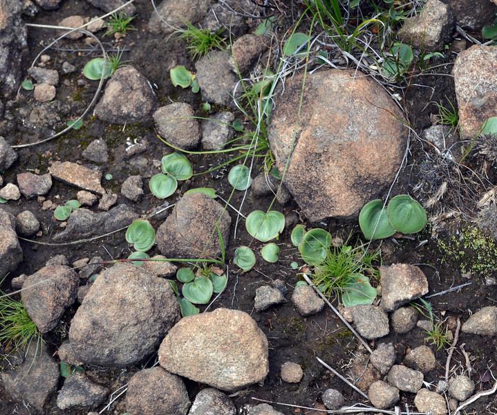 Eriospermum ornithglades.jpg