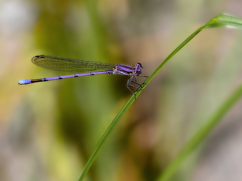Variable Dancer (Argia fumipennis), Male