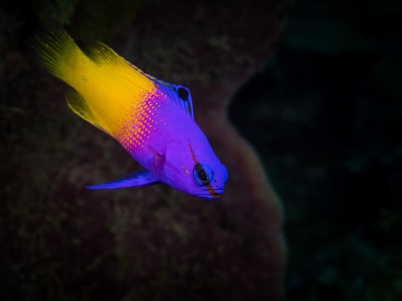 Fairy Basslet: royal gramma #uwphotography #uwphotographer #underwaterlife #underwater #scuba #scubatravel #scubadiving #divelife #divelife #divetrip #oceanlife #sealife #Bahamas #reef #saveourseas