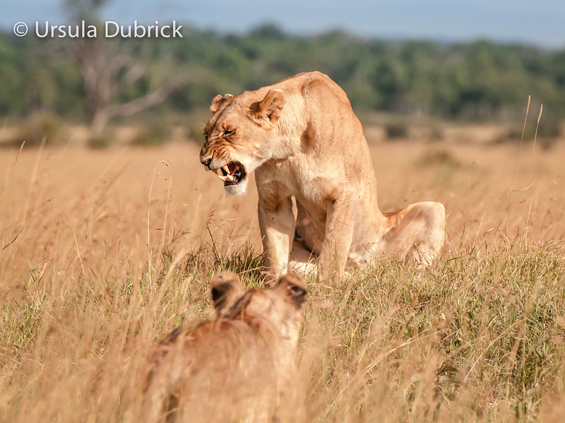 Unwelcome visitor - young lion approaching female in a pride - Kenya