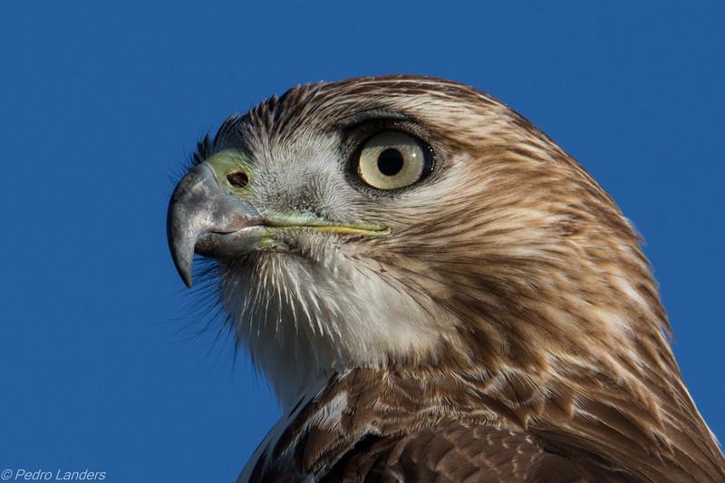 The Hellcat Hawk - Detail
