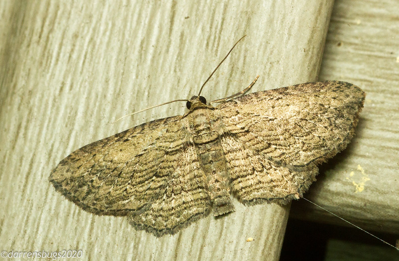 Brown Bark Carpet Moth, Horisme intestinata (Geometridae).