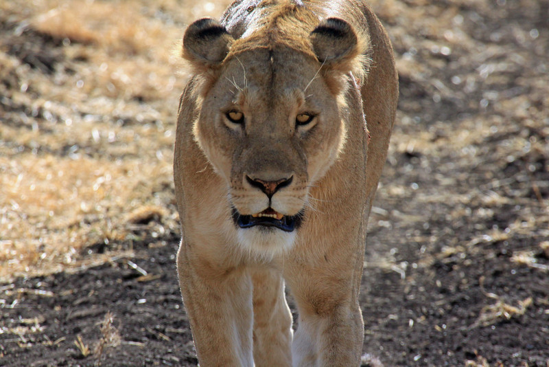 Ngorongoro Crater - Wild Cat