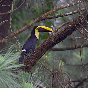 Chestnutmandibled Toucan