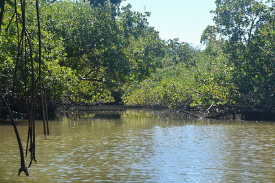 1230PM Mangrove Tunnel Kayak Tour - Miller & Teel
