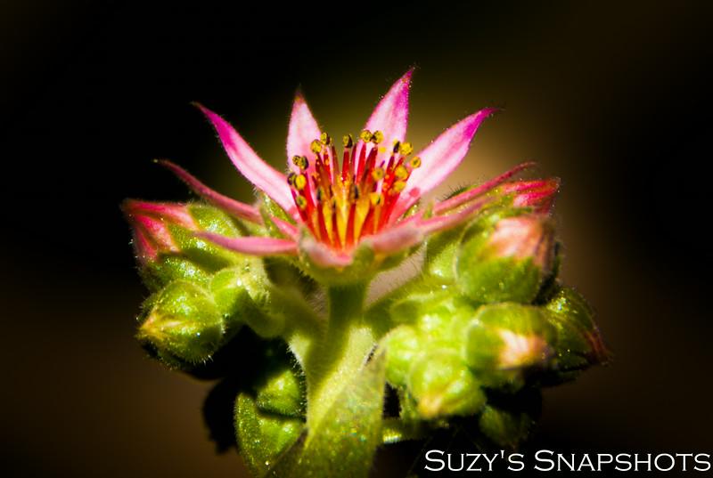 SuzysSnapshots_CactusFlower-2.jpg