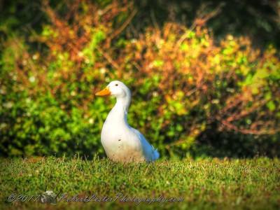 American Pekin Duck  ( Domestic Duck)