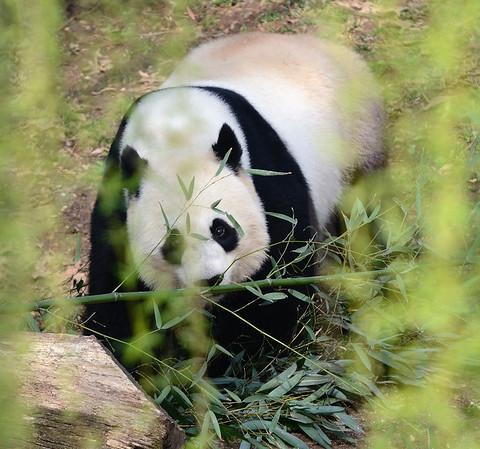 Washington National Zoo - Pandas