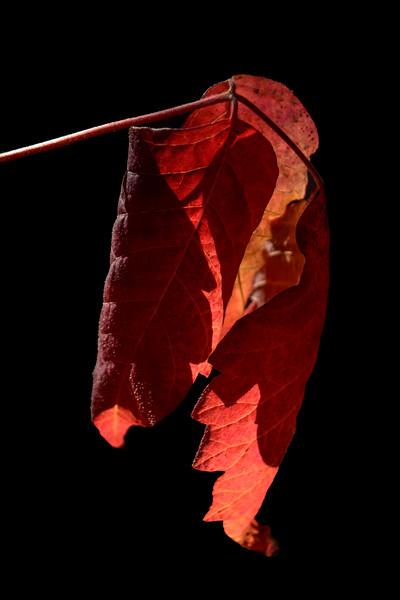 DSC_9975 AR poison oak leaf crpd 2x3 tNEF ps-2 .jpg