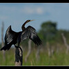 African Darter, Maun, Botswana, 2010