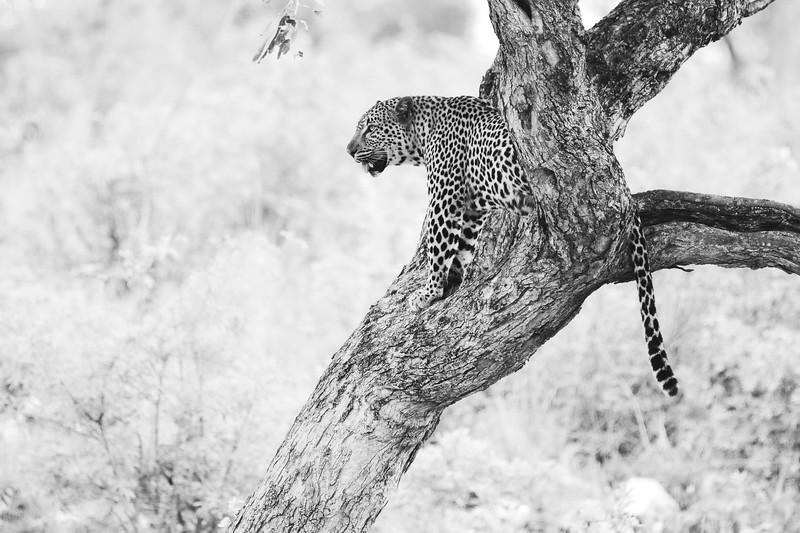 Leopard 61.jpg