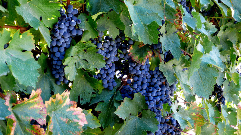 Grapes Before the Harvest Healdsburg, California