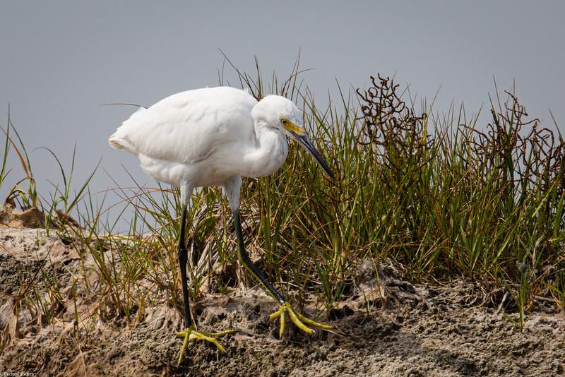 Juvenile Snowy Egret 02.jpg