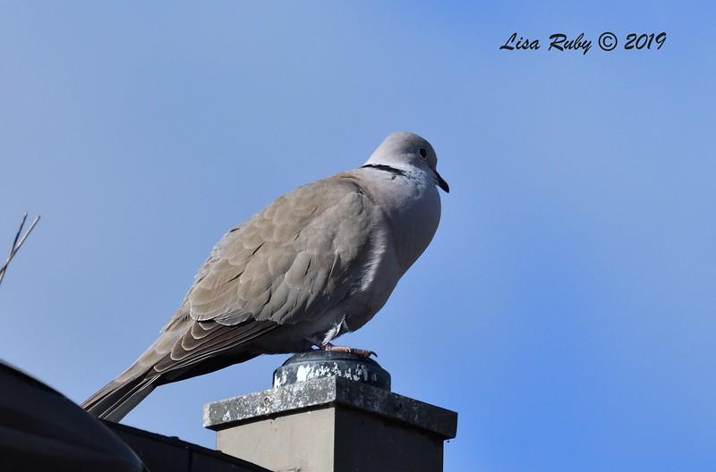 Eurasian-collared Dove  - 2/17/2019 - Lindo Lake