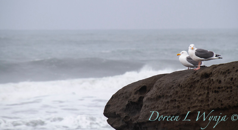 Pair of seagulls on a rock_2404.jpg