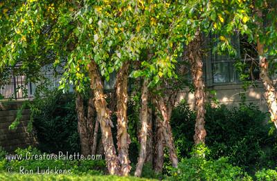 Betula nigra 'Cully' - Heritage River Birch