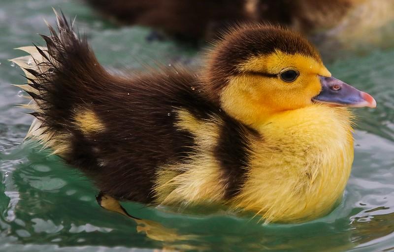 za1-10-17 Hermann Park 209B Muscovy duck chick-205.jpg