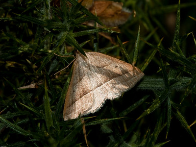 Moths for id
