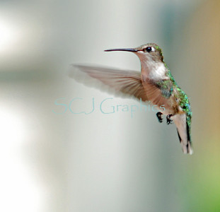 Ruby-Throated Hummingbirds - Female