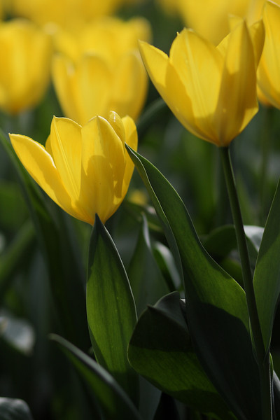 Tulips-2010 08.JPG