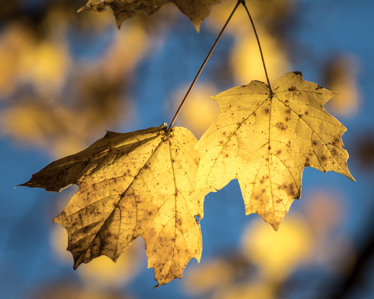 yellow maple leaves -7756.jpg