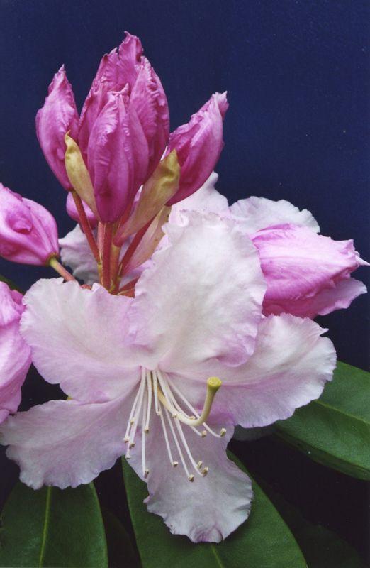 5Nov2003-7 Rhododendron
