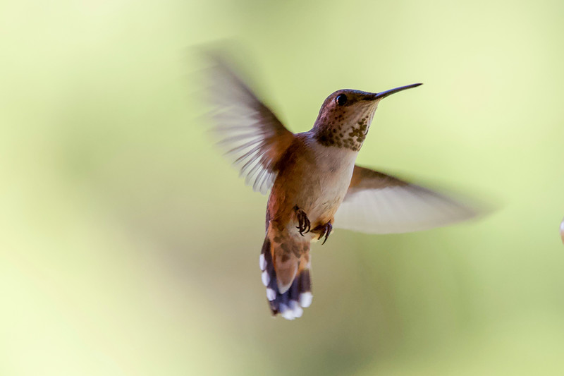 humming bird (17 of 55).jpg