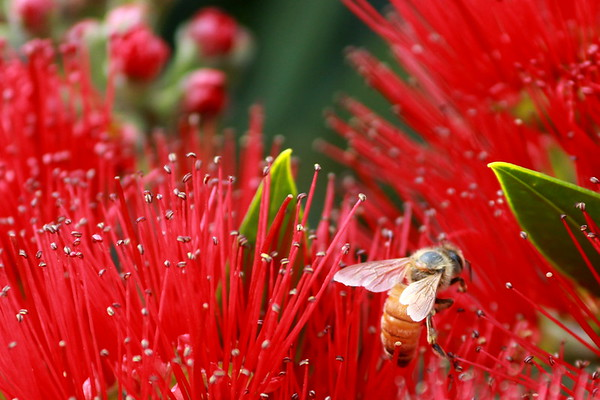 Honey bee on Rata (7)