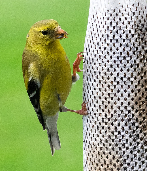 yellow goldfinch hangs on a feeder