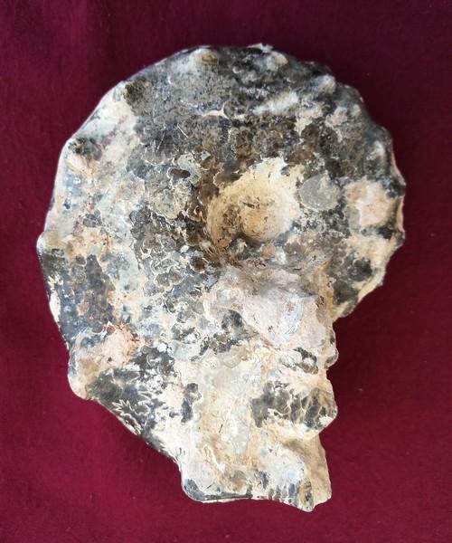 #7118 Mammites nodosoides Ammonite