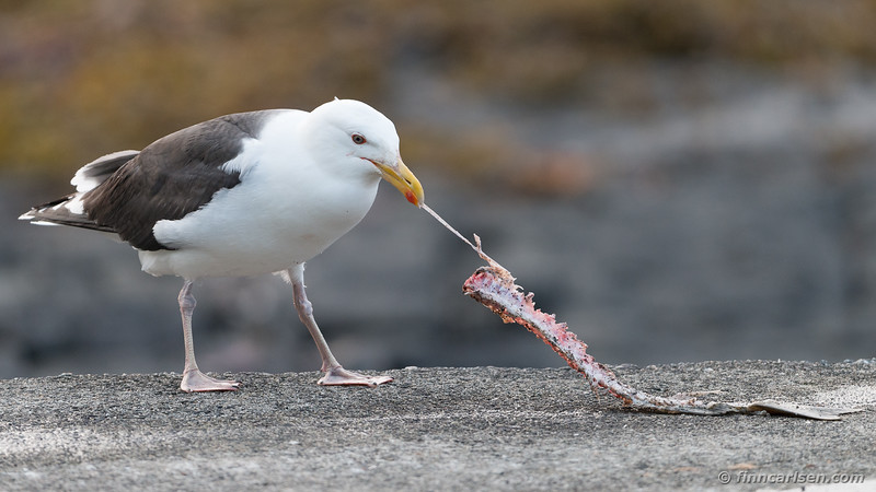 Svartbag (Larus marinus - Great black-backed gull)