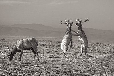 Tule Elk at Play