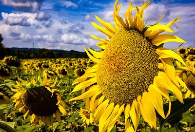 Tuscany - Sunflowers - 2018