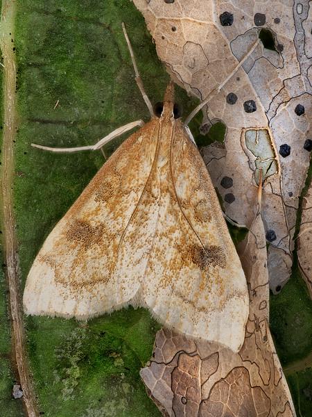 False Celery Moth