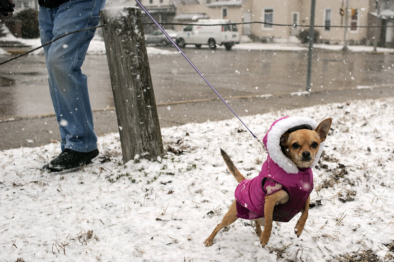 . Houston Hardy made sure to bundle up his dog Amor before taking her out for a walk, Tuesday, March 5, 2013, along South Second Street in Elkhart, Ind. The National Weather Service called for 4 to 7 inches of snow through Tuesday evening with winds up to 15 to 20 mph throughout much of Northern Indiana. (AP Photo/The Elkhart Truth, Ryan Dorgan)
