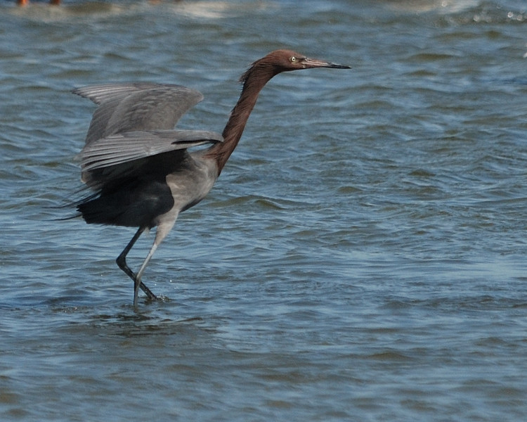 Reddish Egret - Suder Park, Corpus Christi