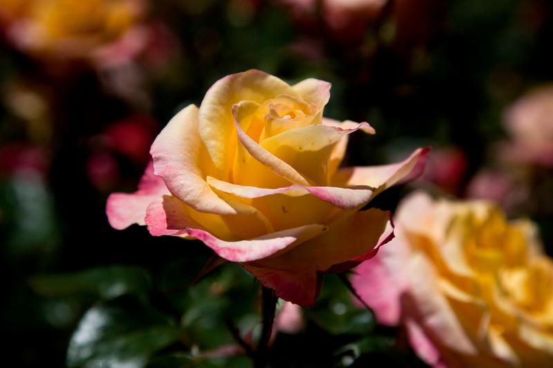magc_rose.jpg