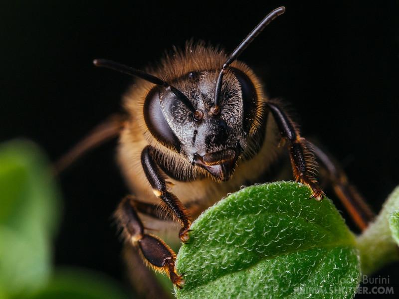 Frontal portrait of a honeybee