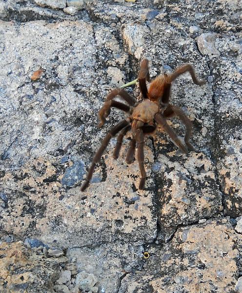 Tarantula 3.jpg