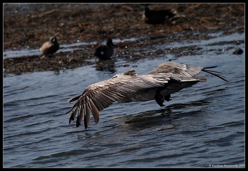 Juvenile Brown Pelican Landing, Robb Field, San Diego River, San Diego County, California, April 2009