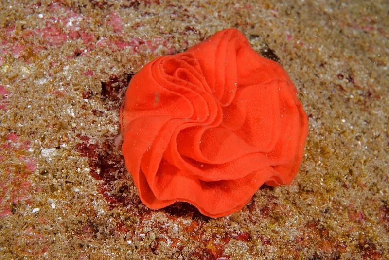 Spanish Dancer Egg Sac.jpg