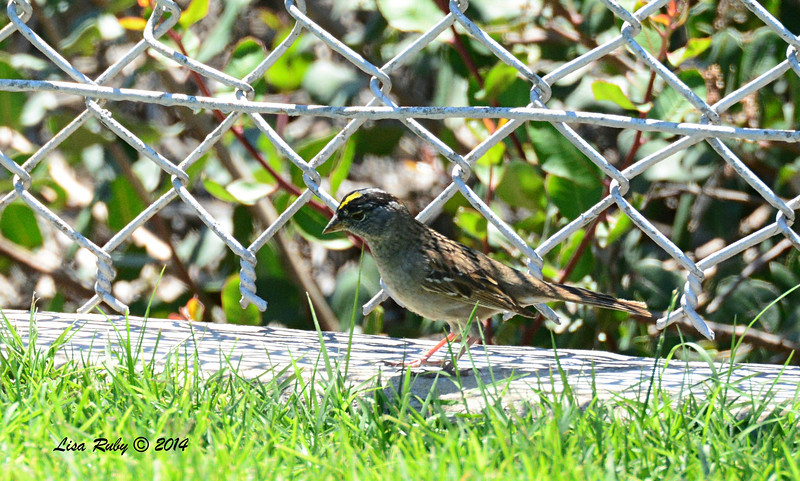 Golden-crowned Sparrow - 5/4/2014 - Fort Rosecrans National Cemetery