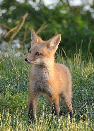 5-11-14 Fox