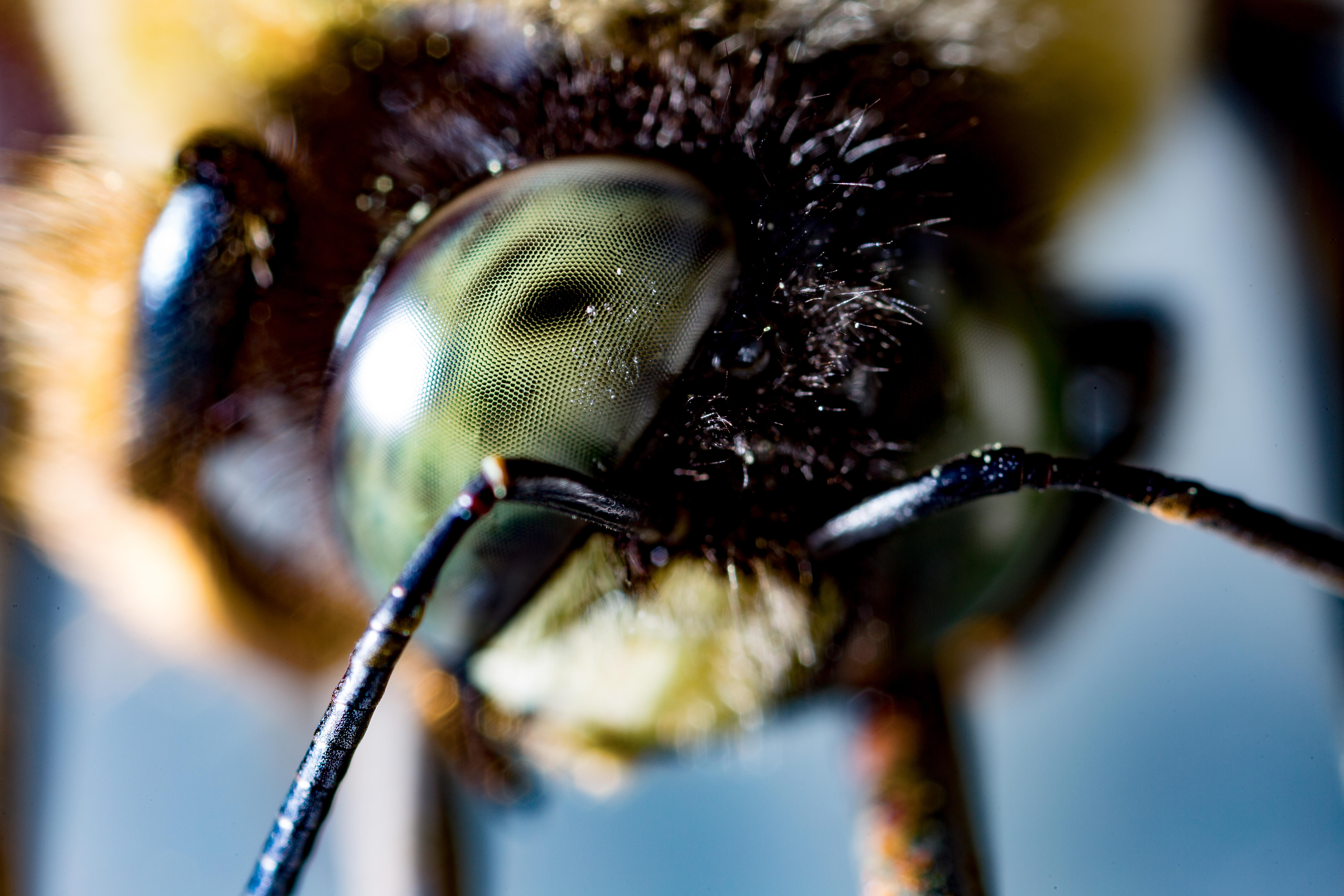 [OS] Carpenter Bee Eye (Xylocopa) [7488x4992]