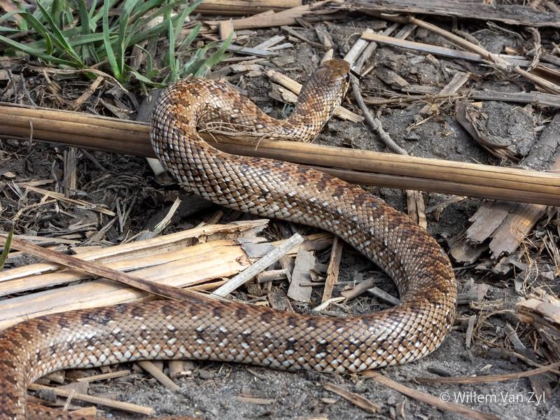 20191123 Mole Snake (Pseudaspis cana) from Milnerton, Western Cape