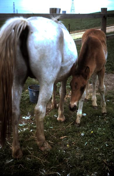 1977-8 (13) Blue Lady & foal.JPG