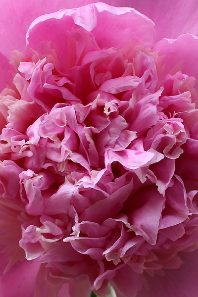 """""""Peonies have now faded away here ..."""" - Daily Photo - 07/07/13  Blessed Sunday and thanks for the comments!"""