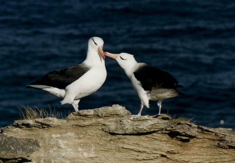 Black-browed Albatross, Thalassarche melanophris. New Island, Falklands Is.