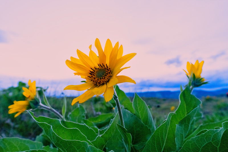 Balsamroot Against Sunset Sky