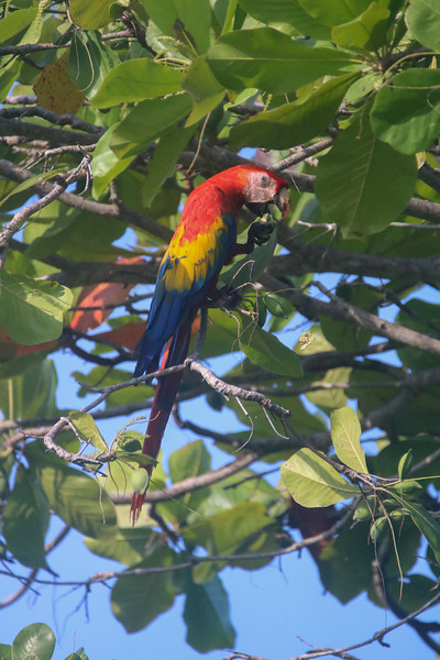 Tropical scarlet macaws in Costa Rica